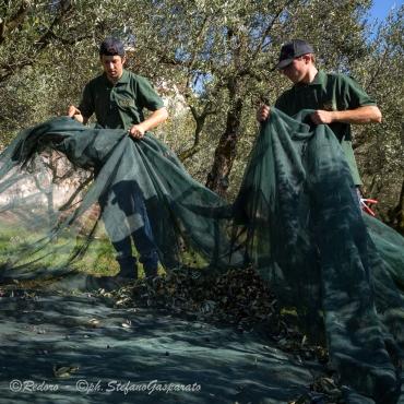 Raccolta olive Redoro 4